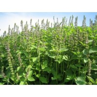 Tulsi Seeds (Rama)
